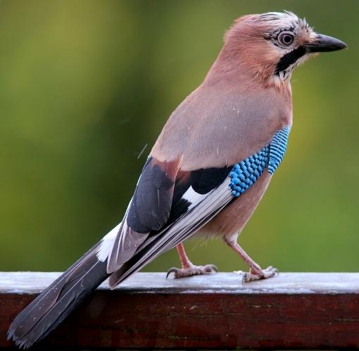 Как выглядит птица сойка